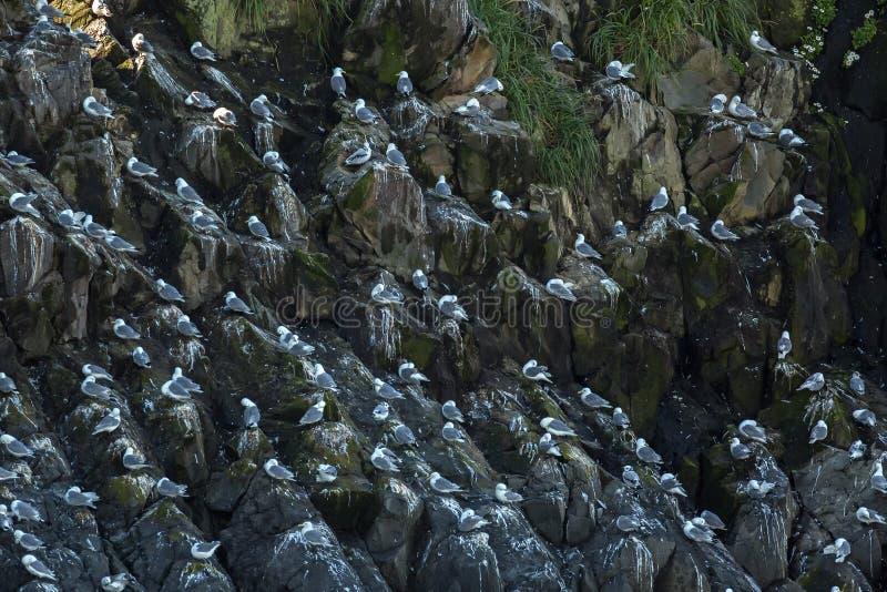 Zeemeeuwennest op de klippen van Vreedzame Oceaan royalty-vrije stock foto's