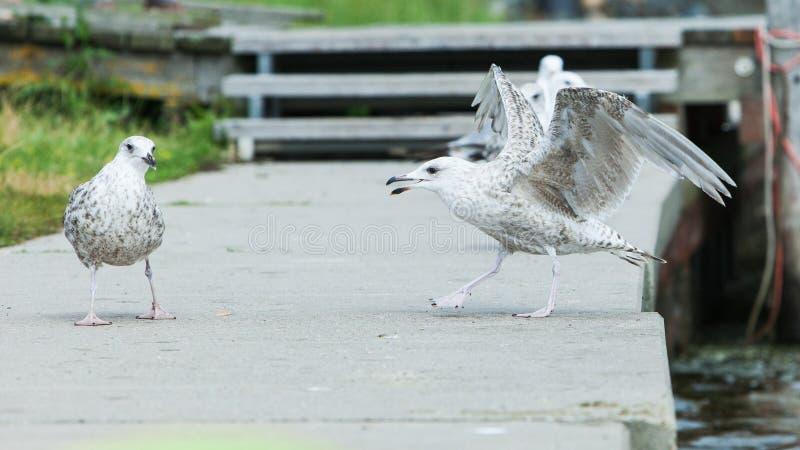 Zeemeeuwmeeuwen die op een raadsgang vechten in een jachthaven royalty-vrije stock afbeelding