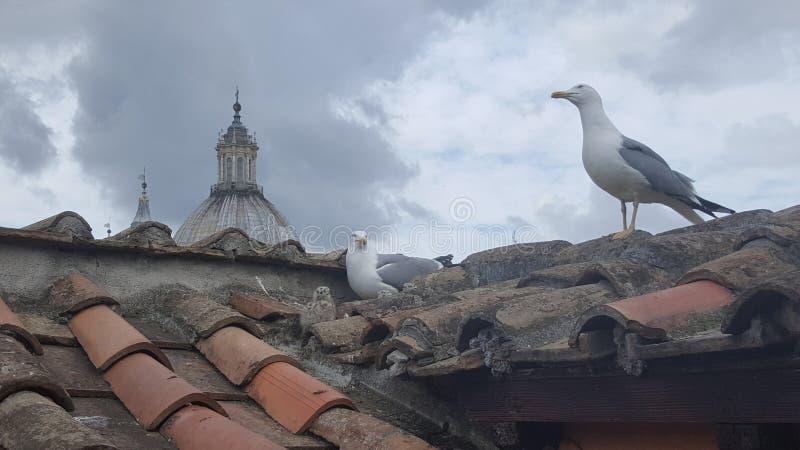 Zeemeeuwnest op dak, Rome, Italië stock afbeeldingen