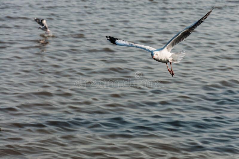 Download Zeemeeuwvlieg stock foto. Afbeelding bestaande uit vogels - 39106104