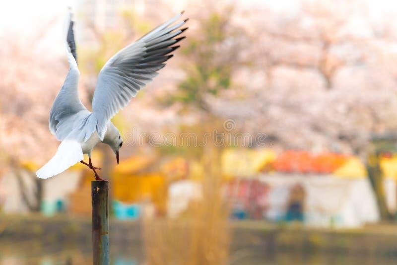 Zeemeeuwvogel het vliegen en de bloesem van de sakurakers van Japan royalty-vrije stock foto's