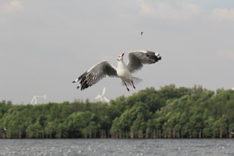 Zeemeeuwvogel het vliegen het pogen voedsel van het menselijke voeden door thr te eten stock afbeelding