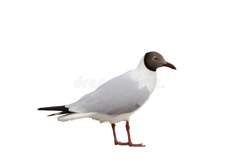 Zeemeeuwvogel status geïsoleerd op witte achtergrond stock fotografie