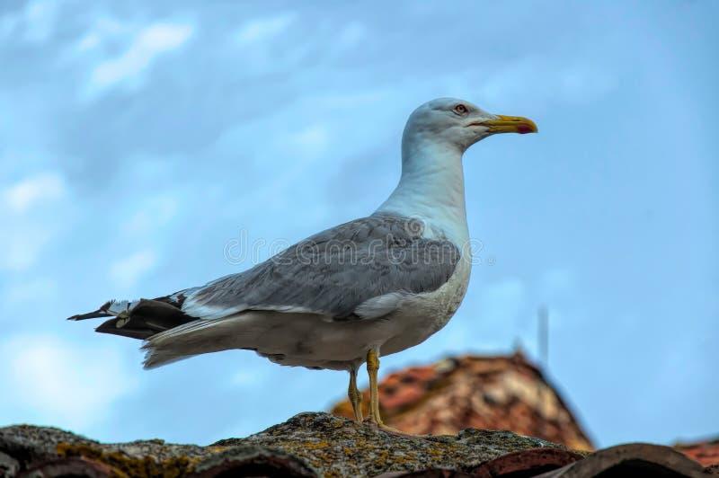 Zeemeeuwzitting op het dak royalty-vrije stock foto's