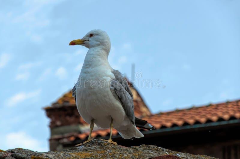 Zeemeeuwzitting op het dak stock fotografie