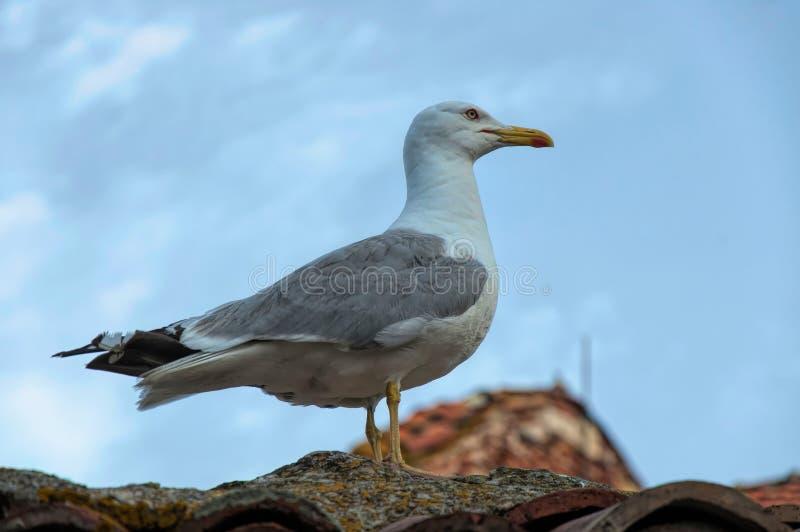 Zeemeeuwzitting op het dak royalty-vrije stock afbeelding