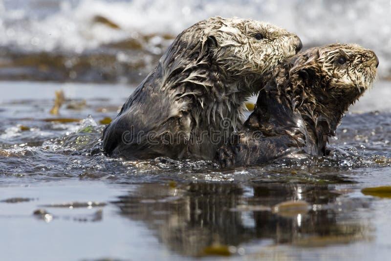Zeeotter, Overzeese Otter, Enhydra-lutris royalty-vrije stock foto