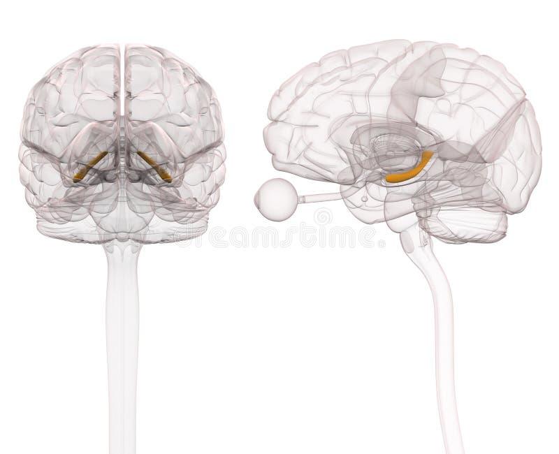Zeepaardje Brain Anatomy - 3d illustratie royalty-vrije illustratie