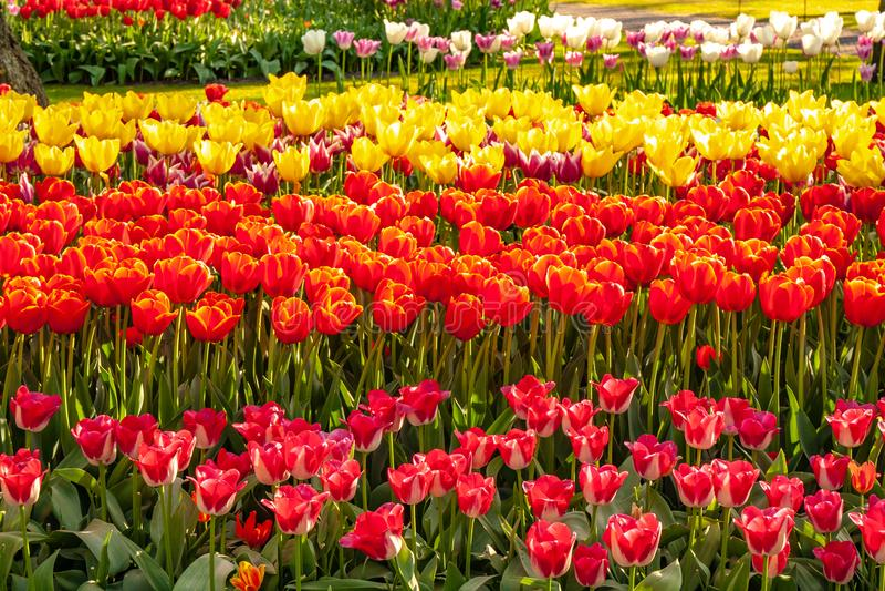 Zeer aardige en mooie tulp zoals een klok in de voorgrond royalty-vrije stock afbeelding