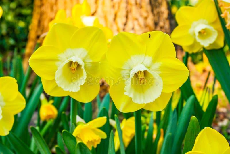 Zeer aardige en mooie twee gele tulpen in de voorgrond stock fotografie