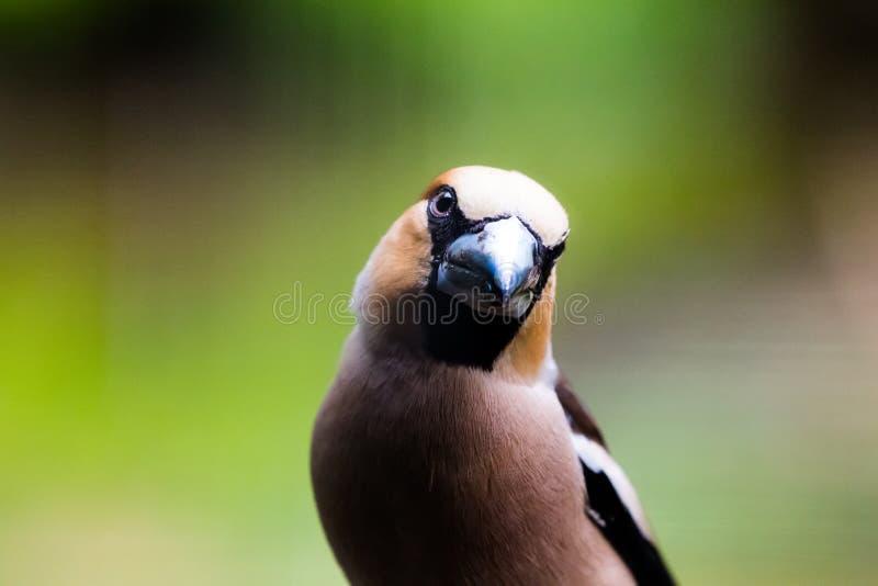 Zeer dicht portret van hawfinch royalty-vrije stock afbeelding