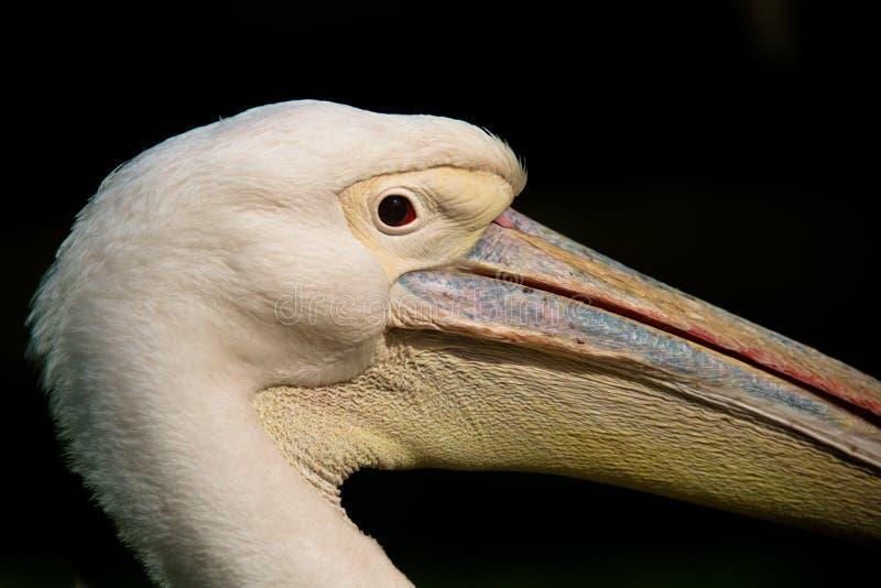 Zeer dicht profiel van een pelikaan stock foto's