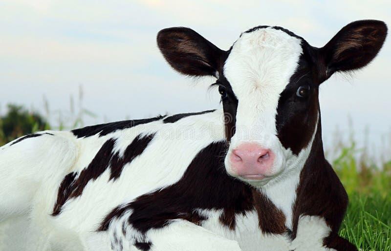 Zeer dichte mening van het Pasgeboren kalf die van Holstein in het gras bij vroege avond leggen stock foto