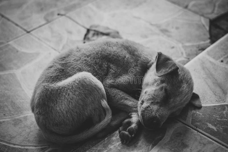 Zeer droevige hond Droevige grens Terrier Knappe hond De hond is ziek en mist zijn eigenaar Terrier-behoeften het in orde maken royalty-vrije stock afbeelding