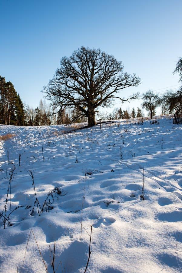 zeer grote honderd jaar oude eiken boom in de winter stock fotografie