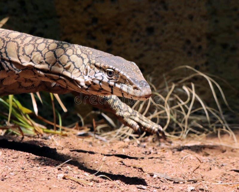 Zeer grote reptilian hagedis in gevangenschap stock foto's