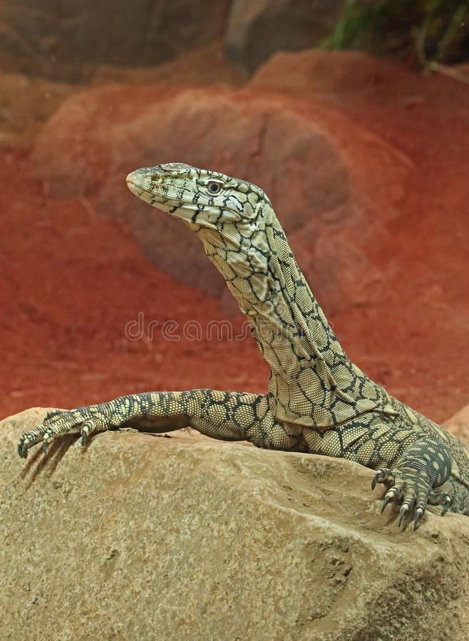 Zeer grote reptilian hagedis in gevangenschap stock afbeelding