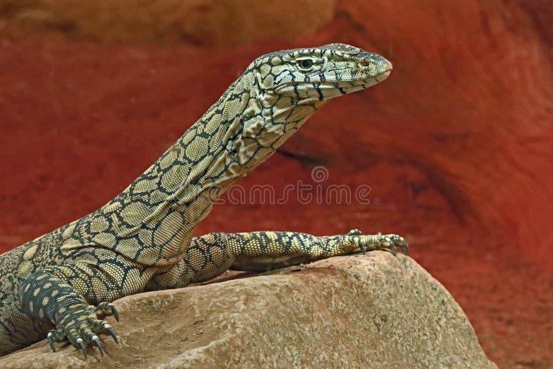 Zeer grote reptilian hagedis in gevangenschap royalty-vrije stock afbeelding