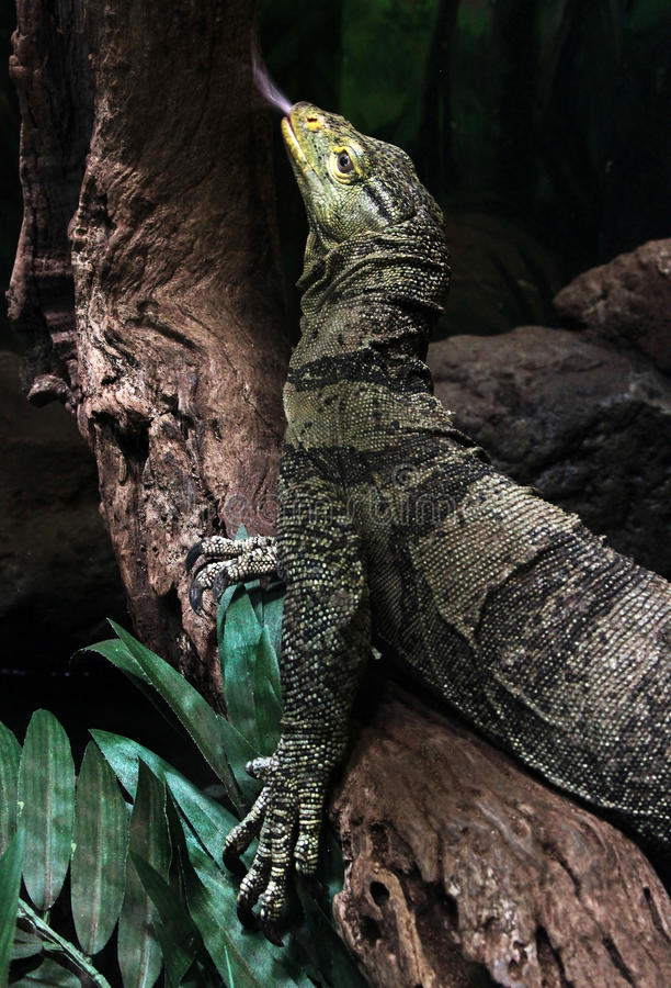 Zeer grote reptilian hagedis in gevangenschap royalty-vrije stock foto's