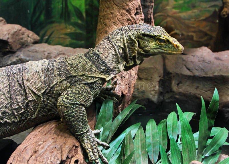 Zeer grote reptilian hagedis in gevangenschap stock foto