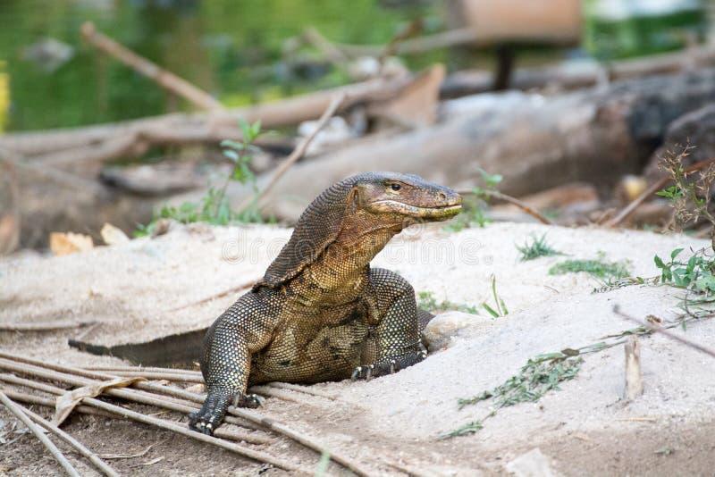 Zeer grote reptilian hagedis in gevangenschap royalty-vrije stock foto