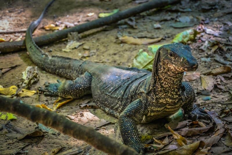 Zeer grote reptilian hagedis in gevangenschap royalty-vrije stock fotografie