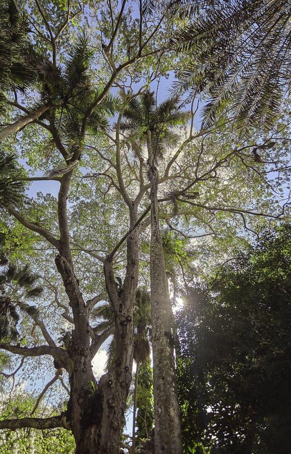 Zeer hoog paar palmen #4 stock foto
