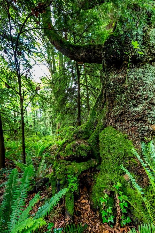 Zeer Interessant Mystiek Cedar Tree Covered met Mos royalty-vrije stock afbeelding