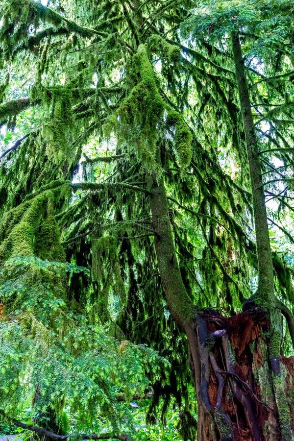 Zeer Interessant Mystiek Cedar Tree Covered met Mos royalty-vrije stock foto's