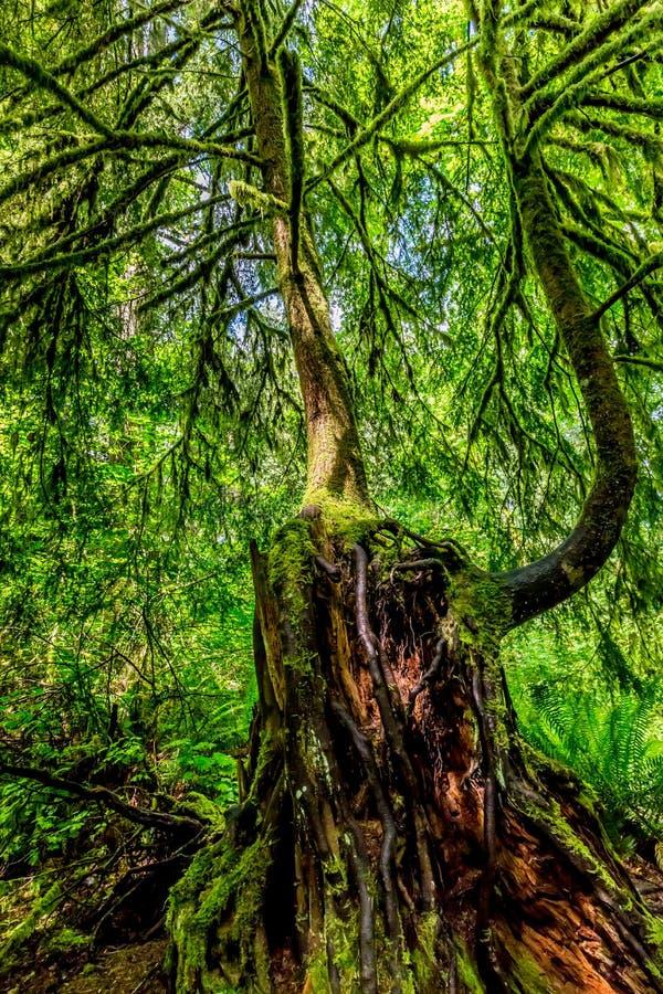 Zeer Interessant Mystiek Cedar Tree Covered met Mos royalty-vrije stock foto