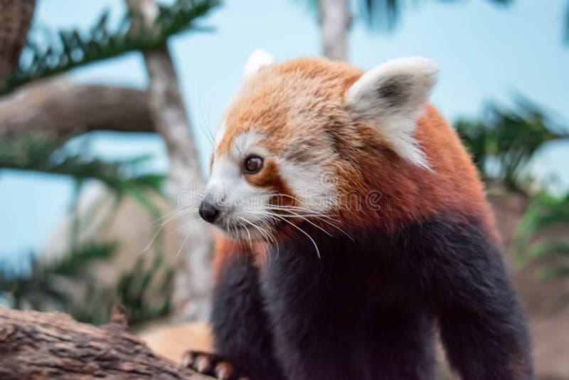Zeer leuk de rode panda, riep ook de kleinere panda, het rood stock fotografie