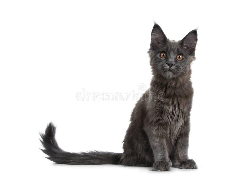 Zeer leuk stevig blauw Maine Coon-kattenkatje die omhoog met staart naast lichaam zitten, die nieuwsgierig camera op witte backgr royalty-vrije stock afbeelding