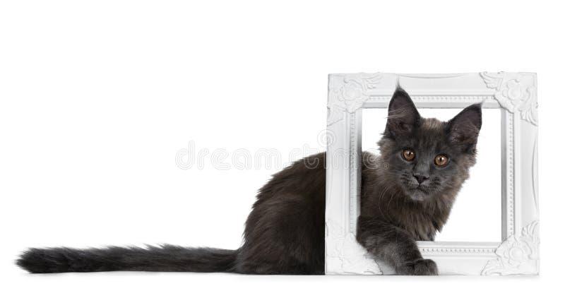Zeer leuk stevig blauw Maine Coon-kattenkatje die zijmanieren met poot en het hoofd plakken door een witte omlijsting, het kijken stock fotografie
