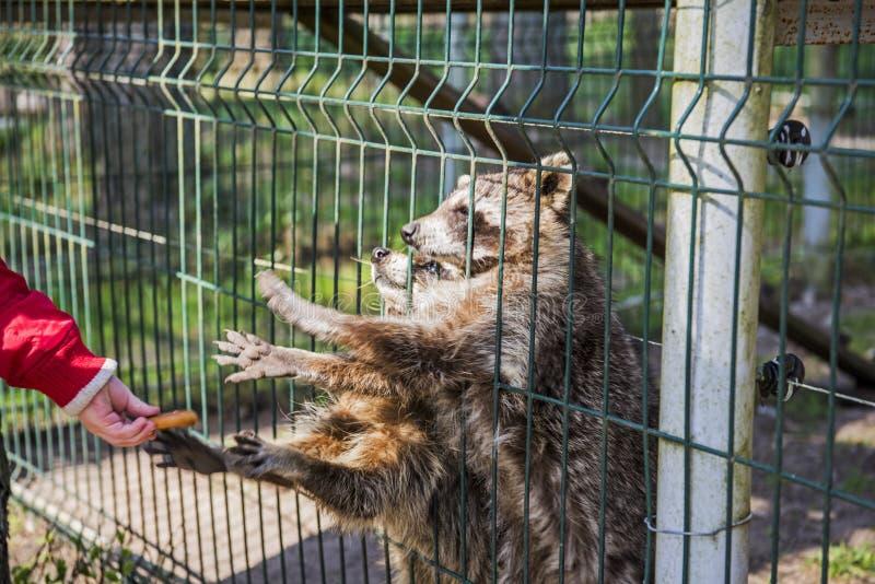 Zeer leuke en grappige babywasbeer die en om voedsel eten vragen stock afbeelding