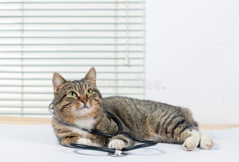 Zeer leuke grijze kat in een veterinaire kliniek royalty-vrije stock foto's