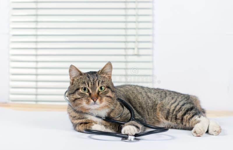 Zeer leuke grijze kat in een veterinaire kliniek royalty-vrije stock fotografie