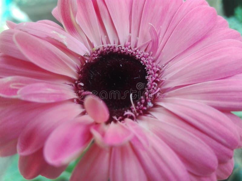 Zeer lichte rozeachtige bloem voor liefde stock afbeelding