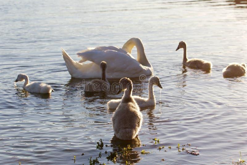 Zeer mooie achtergrond met de familie van jonge zwanen op de zonnige avond royalty-vrije stock fotografie