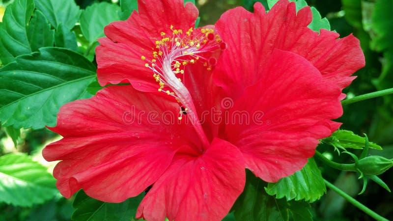 Zeer Mooie rode hibiscusbloem stock afbeelding