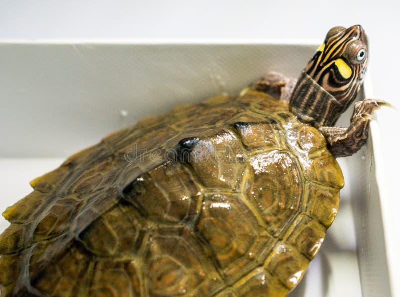 Zeer mooie schildpad kleine grootteschildpad die in water leven Groen en geel royalty-vrije stock fotografie
