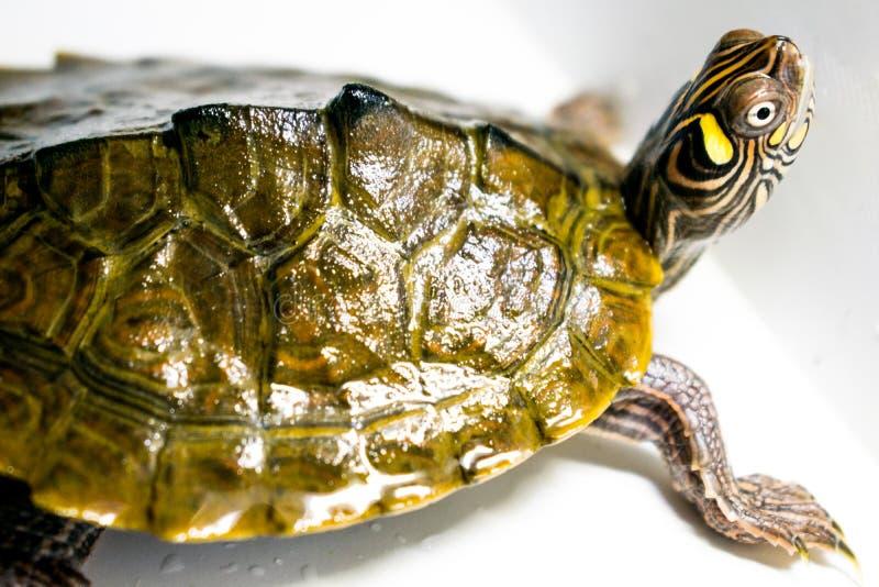 Zeer mooie schildpad kleine grootteschildpad die in water leven Groen en geel royalty-vrije stock foto