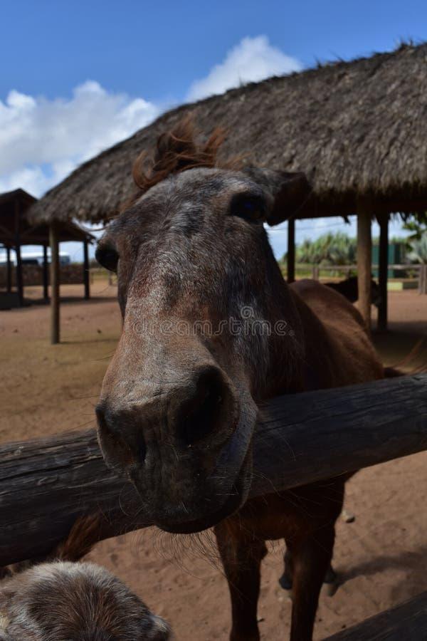 Zeer Nieuwsgierig Paard die Zijn Neus vooruit bereiken stock foto