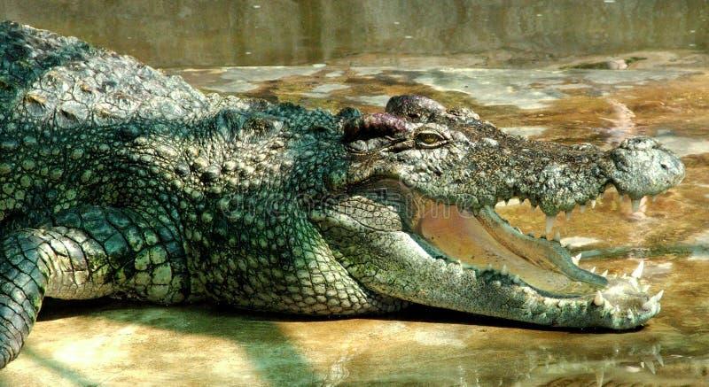 Zeer oude krokodil royalty-vrije stock fotografie