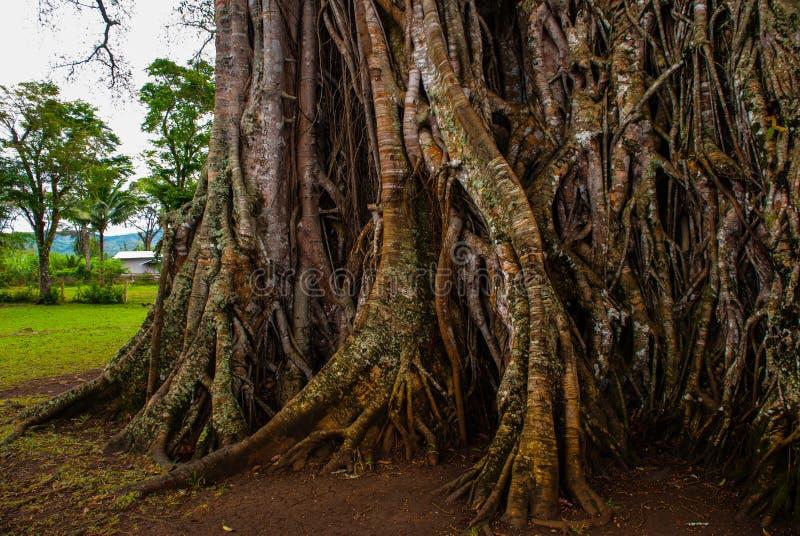 Zeer reusachtige, reuzeboom met wortels en groene bladeren in de Filippijnen, Negros-eiland, Kanlaon royalty-vrije stock fotografie