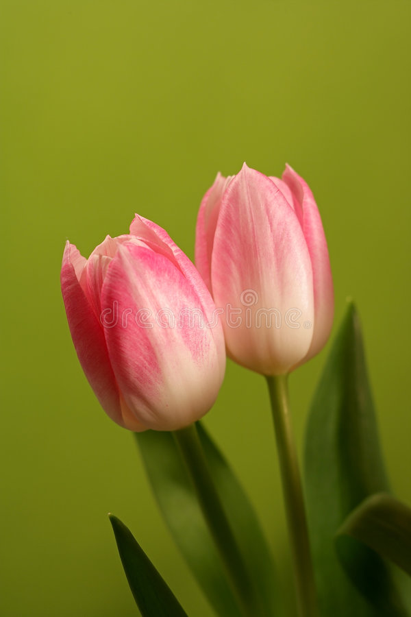 Zeer scherpe tulpen ( royalty-vrije stock foto