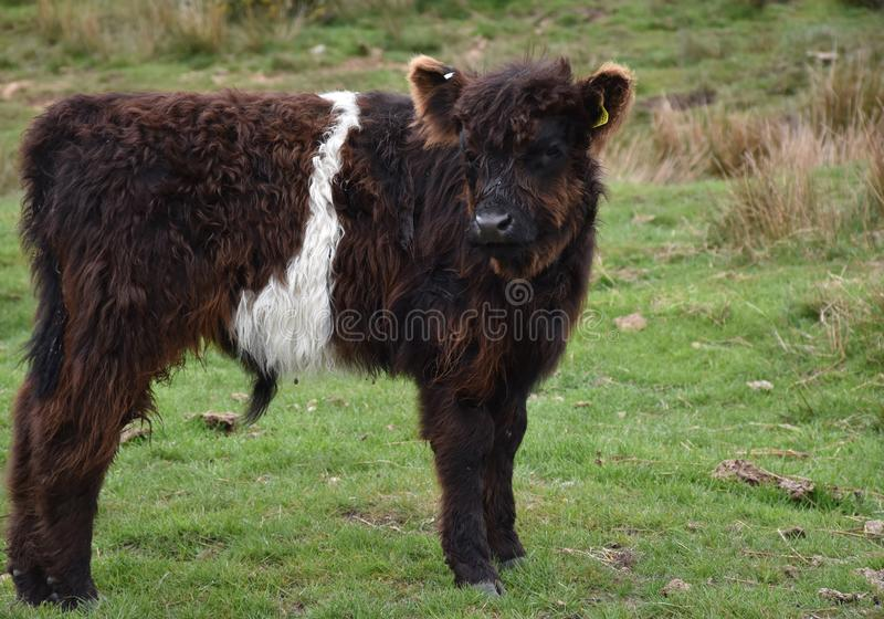 Zeer Shaggy Belted Galloway Calf in een Weiland stock foto