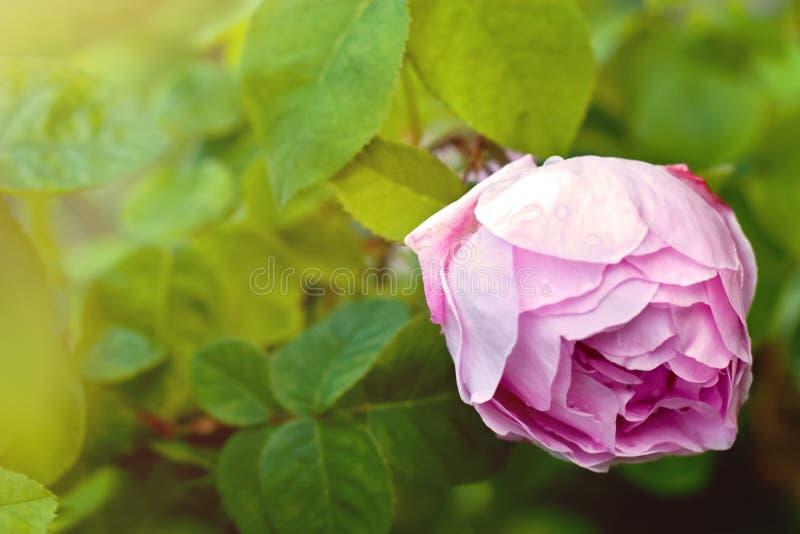 Zeer tedere grote roze nam na regen toe stock afbeelding