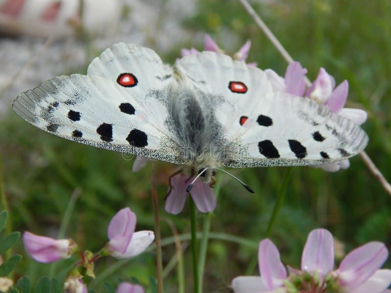 Zeer zeldzame vlinder Parnassius Apollo royalty-vrije stock afbeelding