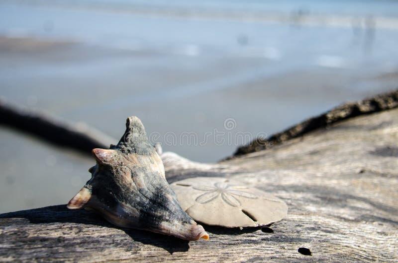Zeeschelp en zand de dollar zit op een stuk van drijfhout op het Park van de Staat van het de Jachteiland stock foto's