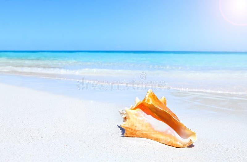 Zeeschelp op strand stock afbeelding